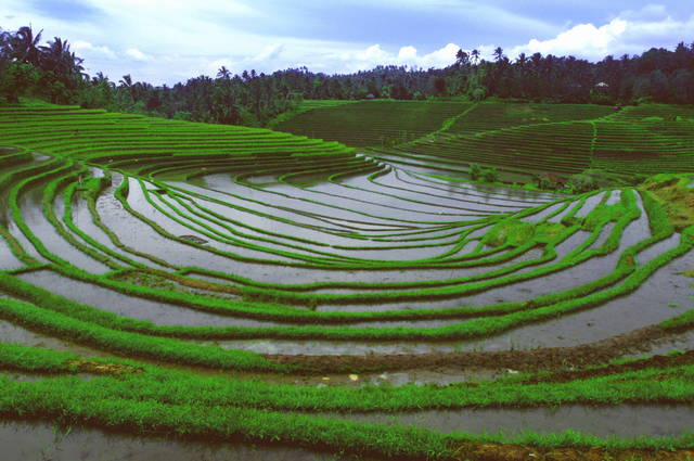 Pirinčana polja potpljena vodom