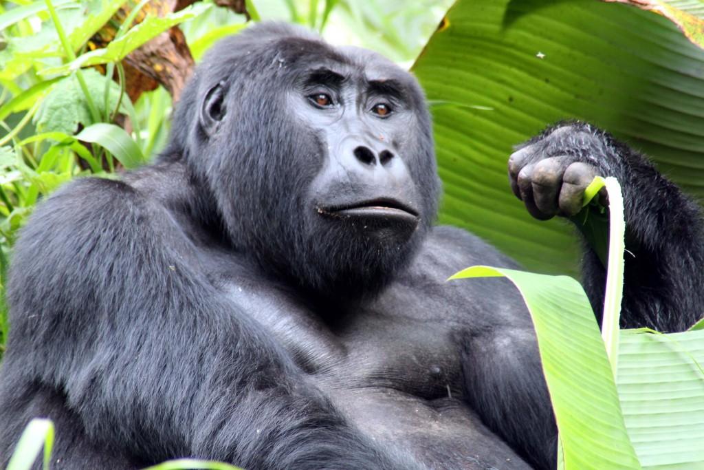 Kisoro - Gorila treking