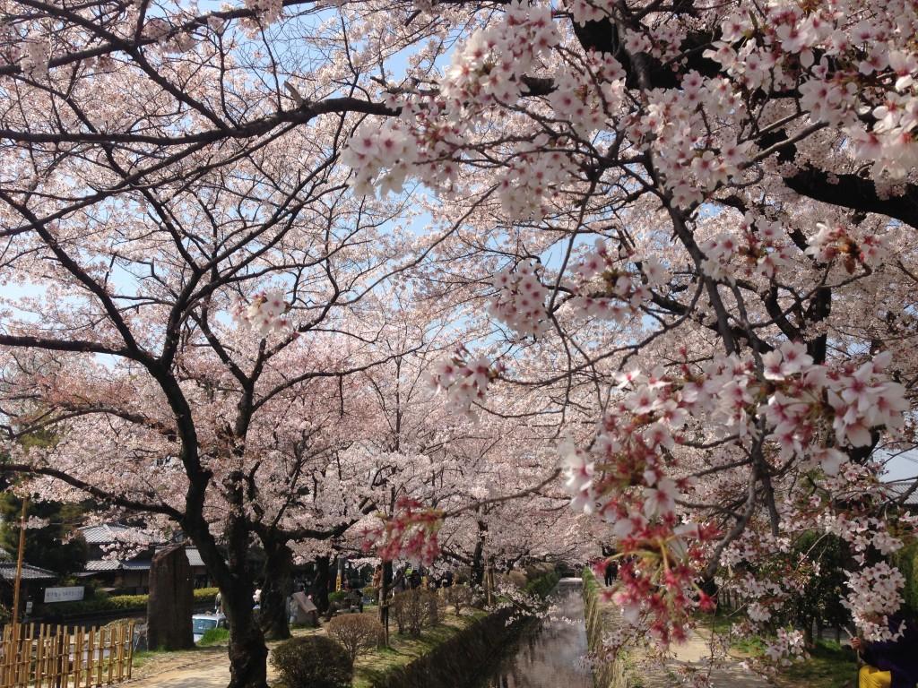 Jedan od mnogobrojnih drvoreda Sakure na ulicama Kyota