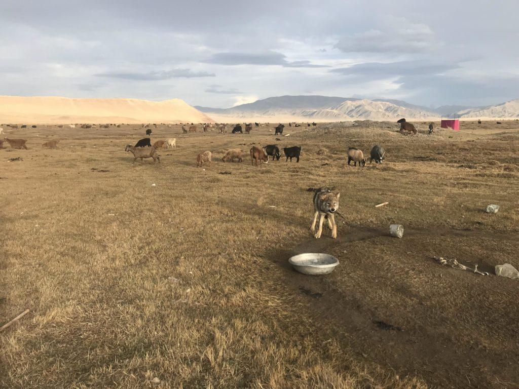 Mongolski vuk